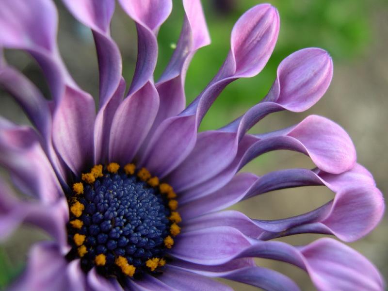 Когда растет и цветет остеоспермум