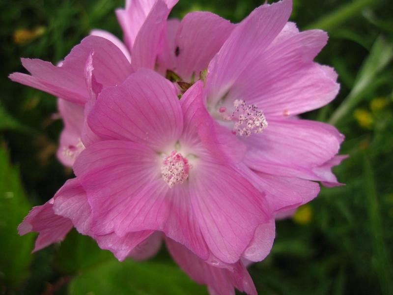 Цветы мальва
