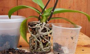 Как пересаживать орхидеи в домашних условиях: причины пересадки, инструкции и описание процесса, правила ухода