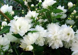 Жасмин - это вьющееся растение известно всем.