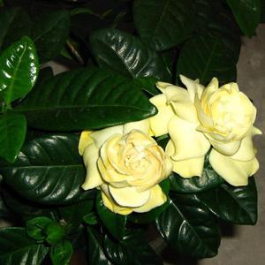 Цветы гардении могут быть белыми или желтыми.