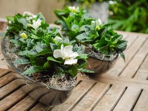 Гардения продается в цветочных магазинах в горшках