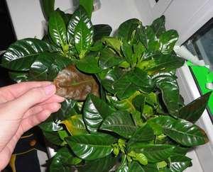 Гардения может заболеть, чаще всего, при этом начинают засыхать листья.