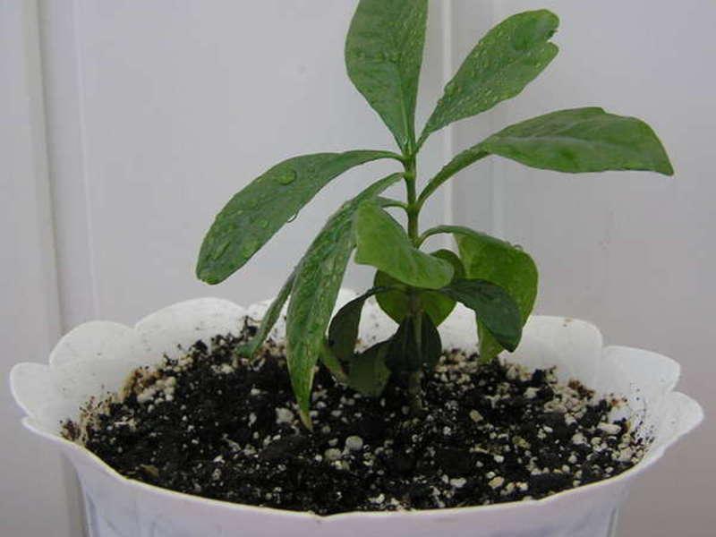 Гардению из семян вырастить можно в домашних условиях.