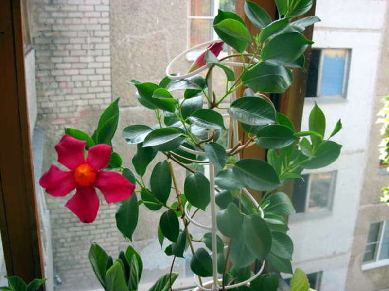 Цветы восковые комнатные