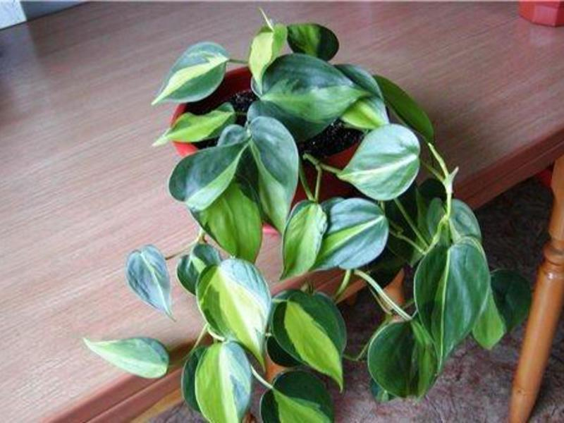 Филодендрон лазящий - растение очень интересное.