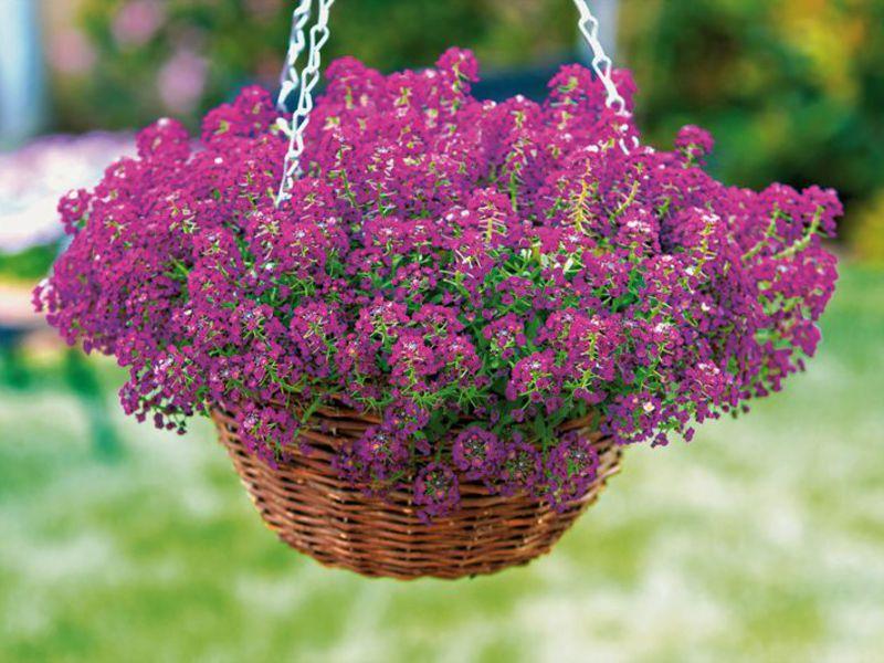 лобулярия выращивание и уход