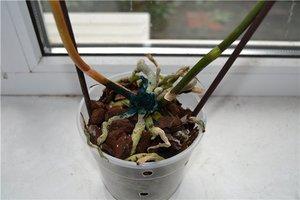 Как спасти орхидею если корни сгнили