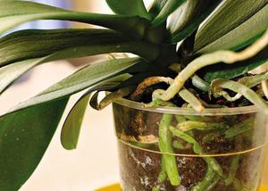 Орхидея без корней может быть реанимирована в воде с подкормками.
