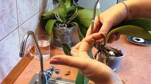 Спасаем орхидею дома - новые корни появятся при правильном уходе