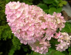 Соцветие гортензии крупным планом на фото.