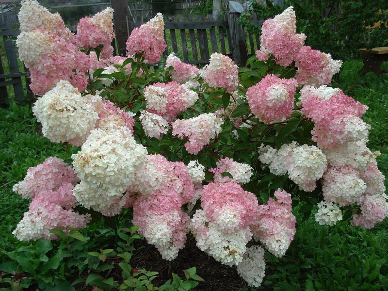 Лиственные кустарники цветущие на участке смотрятся очень интересно.