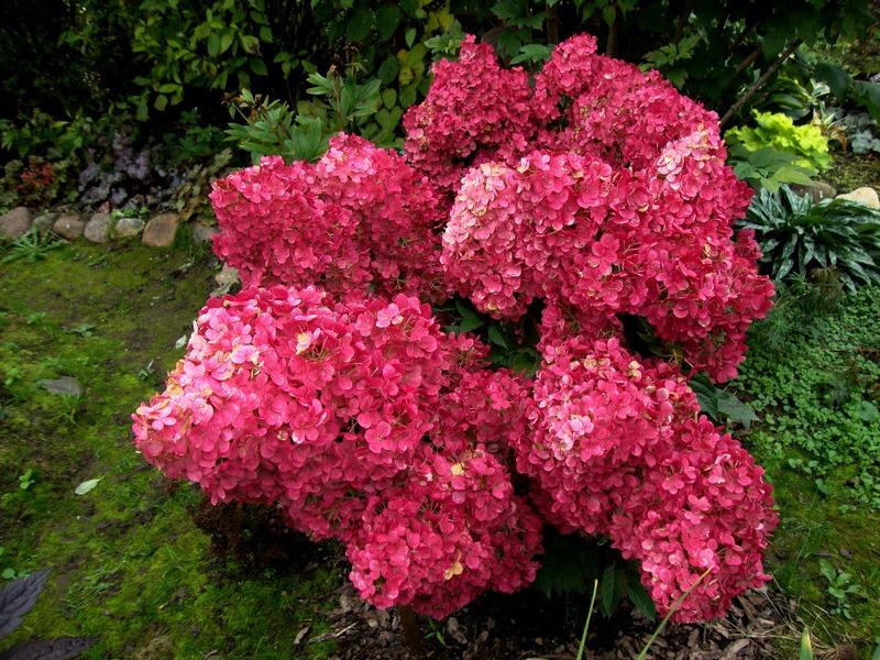 Гортензия Ванилла Фрейз красного цвета.