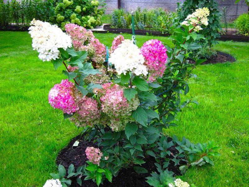 Гортензия метельчатая может расти целым кустарником или одна на фоне газона, например.