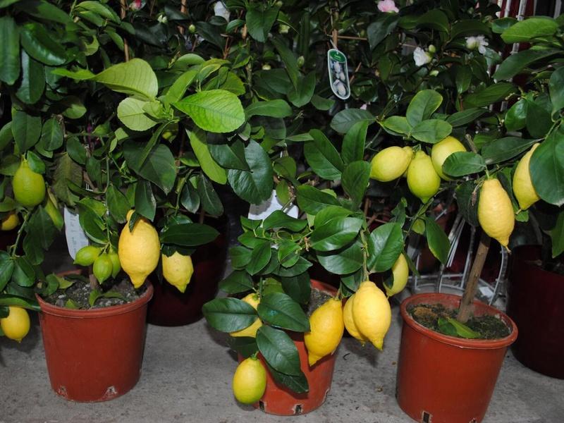 Перечень и описание сортов комнатных лимонов