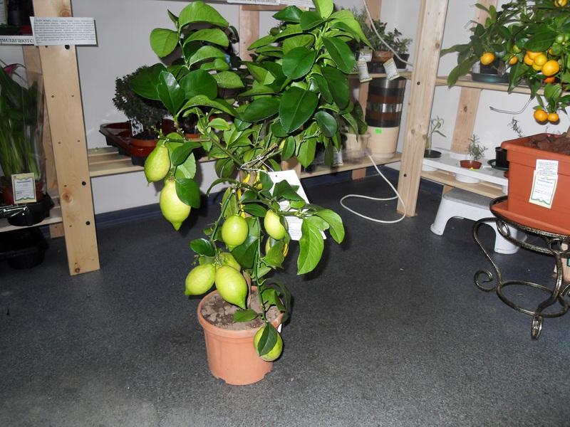 Характеристика сорта комнатного лимона Лунарио