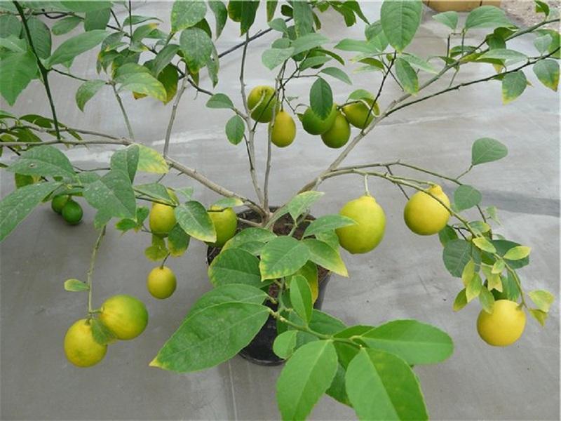 Преимущества комнатного лимона сорта Лисбон