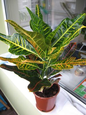 Кодиеум - особенности растения