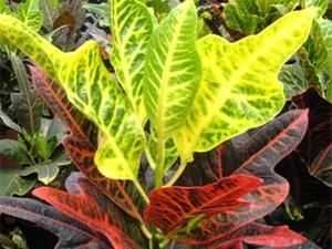 Кодиеум Дизраэли - разновидность с очень типичными листьями