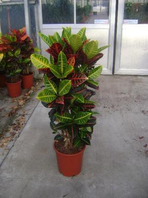 Кротон Петра - очень красивое растение.