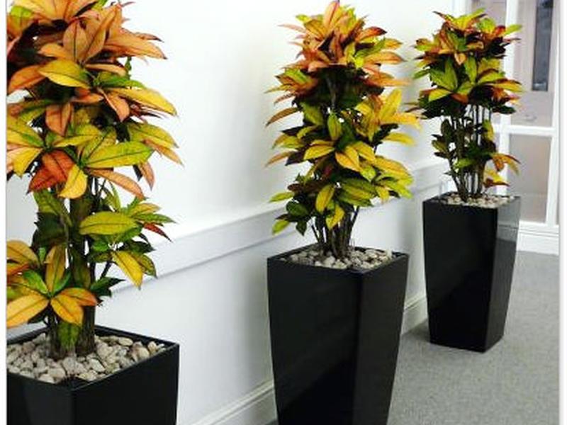 Кротон в вазоне может стать украшением не только в доме, но и на участке.