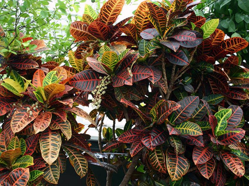 Кротон вариегатный - привлекательное декоративное растение.