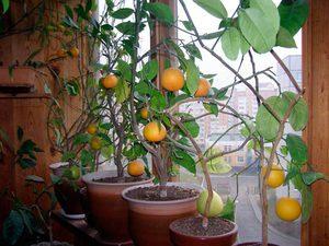 Нюансы выращивания комнатных лимонов
