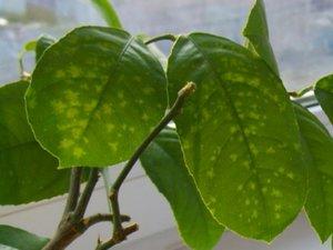 Описание болезней и вредителей комнатных лимонов