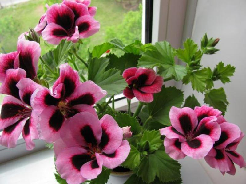 розебудная герань уход в домашних условиях фото