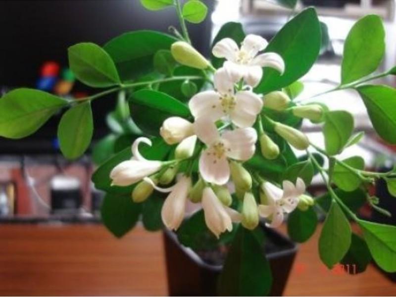 Цветок мурайя фото
