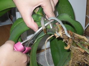 Как в домашних условиях разводить орхидеи фото