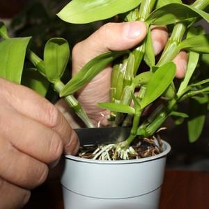 Как рассадить орхидею в домашних условиях фото пошагово в