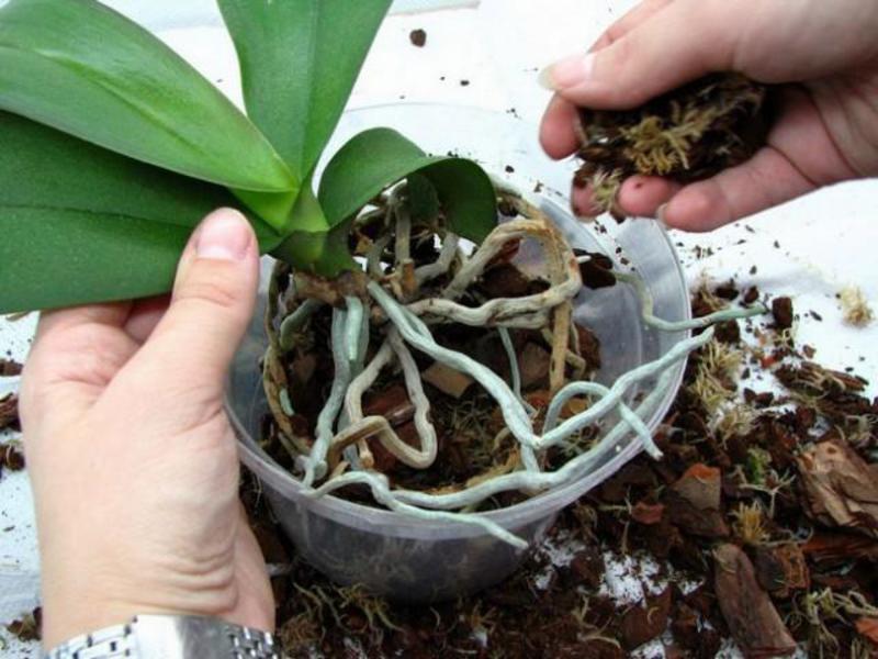 Выращивании орхидеи в домашних условиях