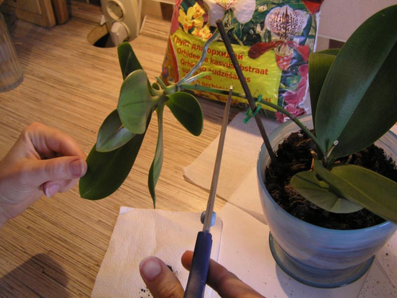 Пересадка орхидеи с детками в домашних условиях