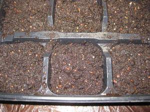 Выращивать алиссум можно рассадным способом