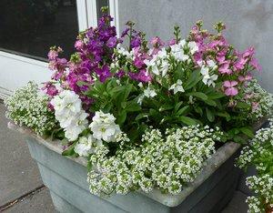 Как посадить аллисум на участке