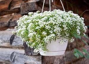 Красивые цветы аллисума