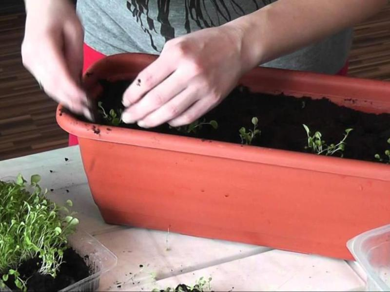 Условия для выращивания аллисума