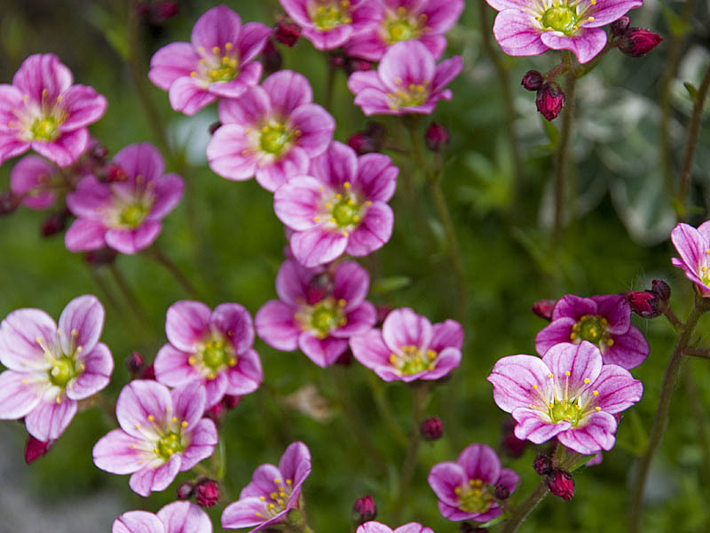 комнатные цветы камнеломка
