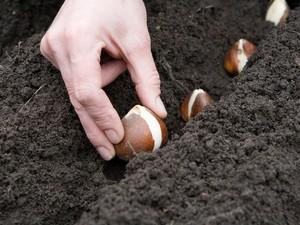 Описание метода посадки гиацинтов в открытый грунт