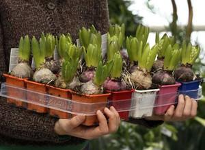 Когда и как высаживать гиацинты в открытый грунт 13