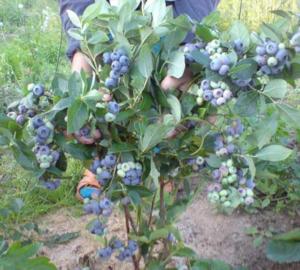 клюква садовая посадка и уход фото