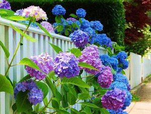 садовая гортензия фото цветок