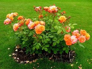 Особенности весенней пересадки розы на другое место