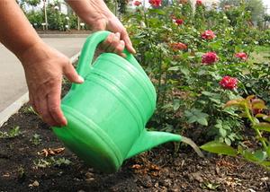 Правила ухода за розами после пересадки