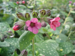 Медуница фото цветка и описание, посадка и уход за медункой
