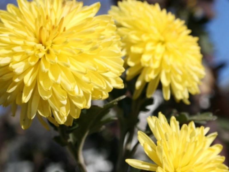 разновидности хризантем  и названия