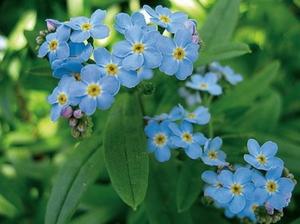 Как выглядит цветок незабудка где растет, описание видов и фото