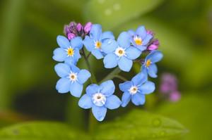 Цветы незабудки фото на клумбе