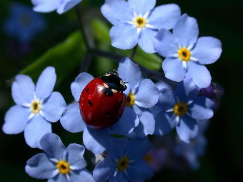 Растение рано и обильно цветущее
